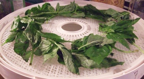 dehydrate basil - placed leaves on drying tray.