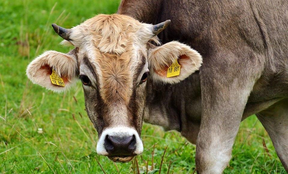 Gozu (Cabeza de Vaca) – Cuentos de Terror