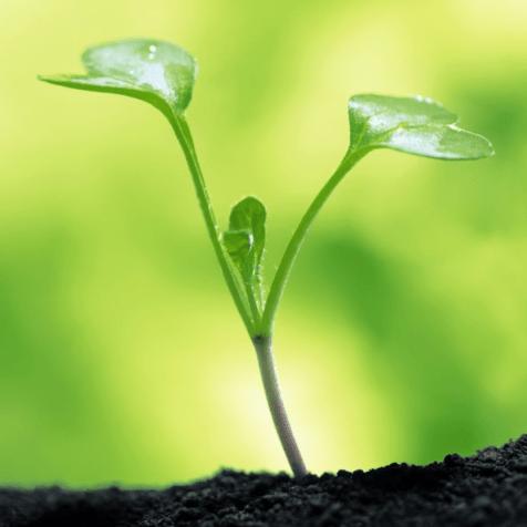 planta em estado de broto