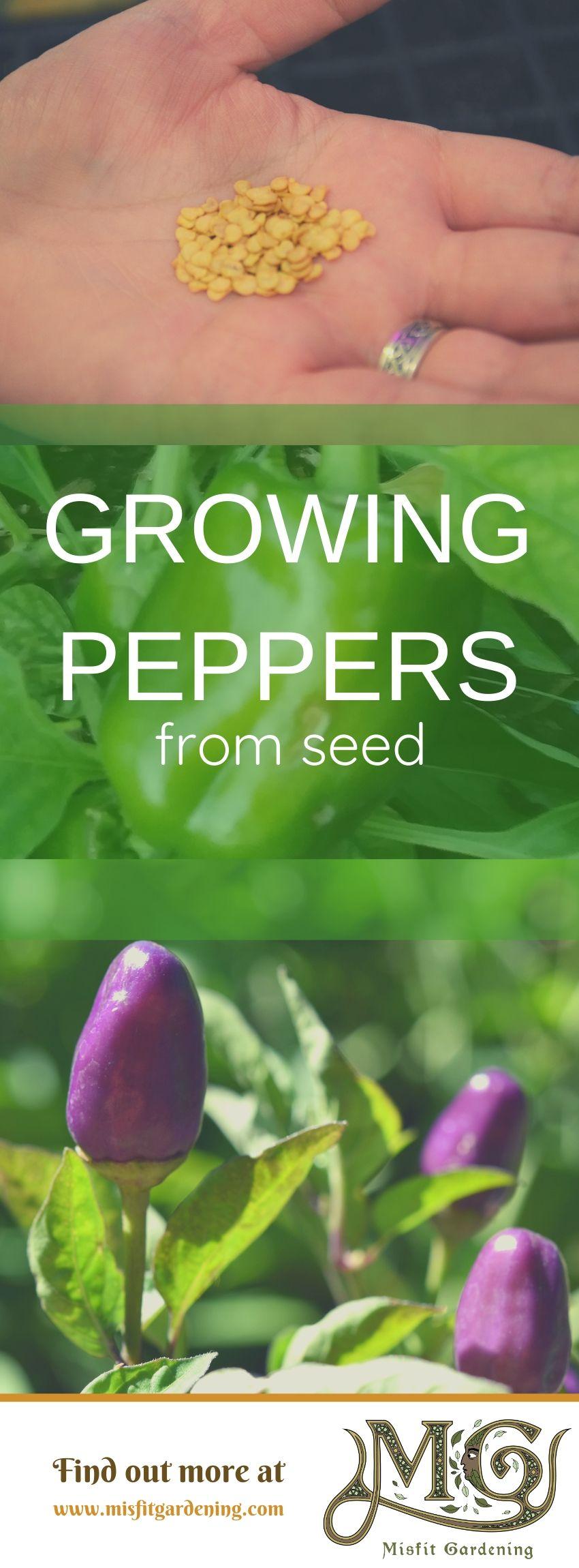 Finden Sie heraus, wie man Paprika aus Samen züchtet. Klicken Sie hier, um mehr über den Anbau von Paprika zu erfahren, oder stecken Sie ihn fest und speichern Sie ihn für später. #Garten #Nongmo #Haus