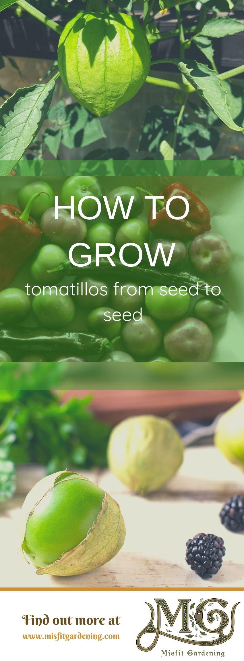 Klicken Sie hier, um zu erfahren, wie Sie Tomatillo anbauen und Samen speichern oder anheften und für später speichern. #Homesteading #Garten