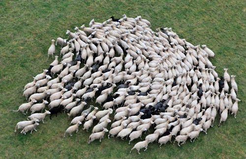 Field theory describes the relations between these sheep when herded.
