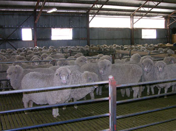 Merino_penned_for_shearing
