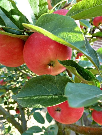 discoveryApples1_9Sep13