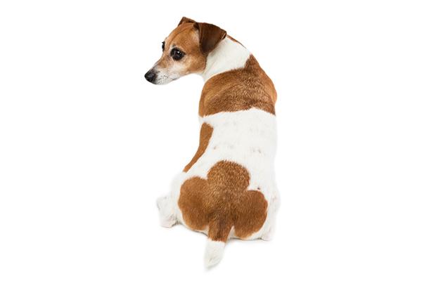 Un perro se sienta y mira hacia atrás.