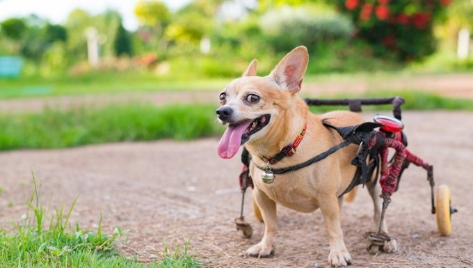 Feliz lindo perrito en silla de ruedas o carro caminando en el campo de hierba.
