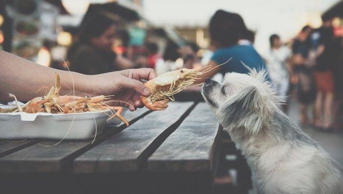 Perro tan lindo de raza mixta con shih-tzu, pomerania y caniche sentado en la mesa de madera en un restaurante al aire libre esperando para comer un camarón frito con gambas, especias, sal, alimento de personas es dueño de una mascota