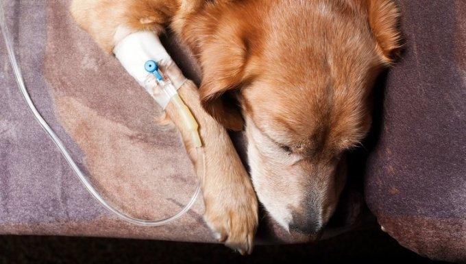 El perro se acuesta en la cama con la cánula en la vena y toma la infusión