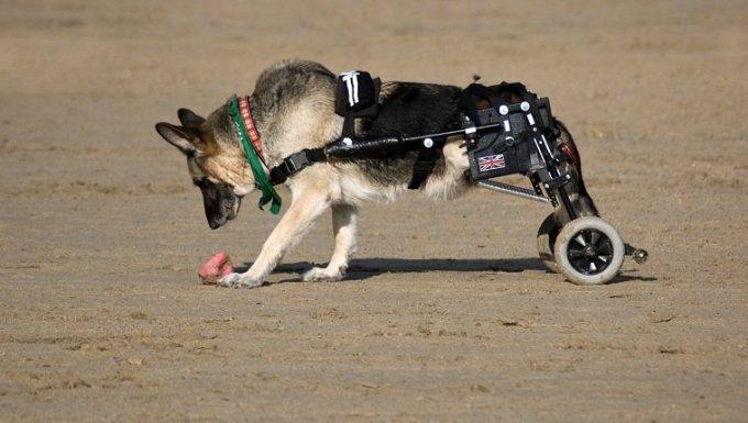 Perro alsaciano en la playa usando bicicletas de movilidad para reemplazar sus piernas paralizadas en Cornwall, Inglaterra.