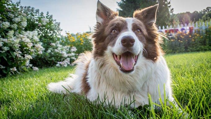 feliz, perro, sonriente, en, pasto o césped
