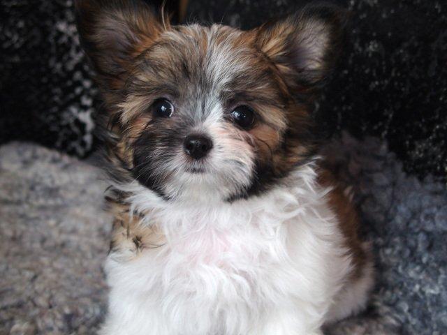 4 Rare Pupsize Lap Dog Breeds Miso Pup