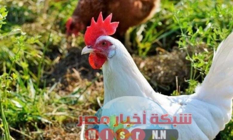 شبكه أخبار مصر ترصد لكم أسعار الدواجن اليوم الاثنين ٢٢ يونيو 2020