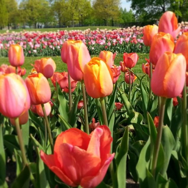 Frühling!!! Hoch 2! Tulpenschau im Elbauenpark