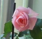 2020_06_rose
