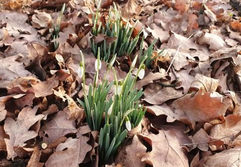 2021-02_sudden-spring_schneegloekchen_00