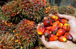 Как делают пальмовое масло?