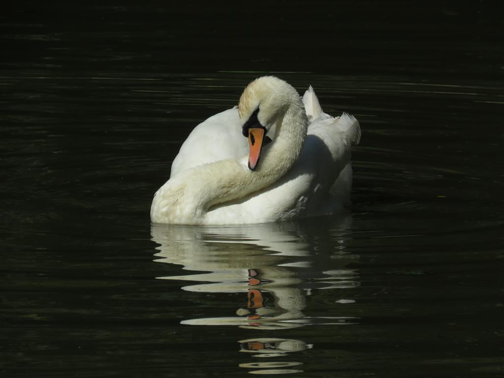 Reflections of a swan in Bradford on Avon, Wiltshire
