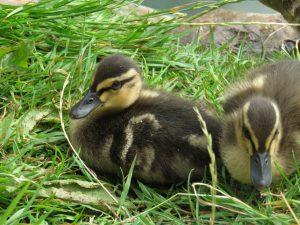 Ducklings, Faulkland, England