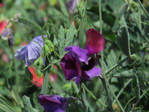 Sweetpeas, Somerset Lavender Farm