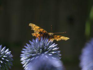 Peacock Butterfly, National Garden Scheme, Somerset