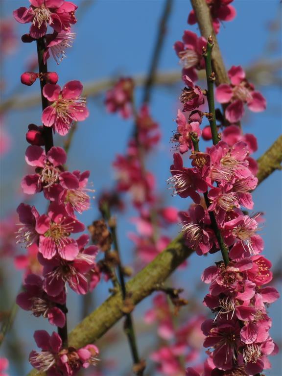 Pink Blossoms at Colesbourne Park, Gloucester