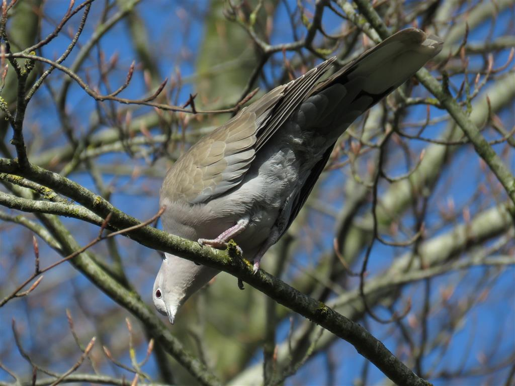 Visiting Cotswold Water Park: Collared Dove