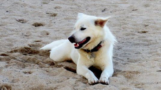 Beautiful white dog, Sanur Beach Bali