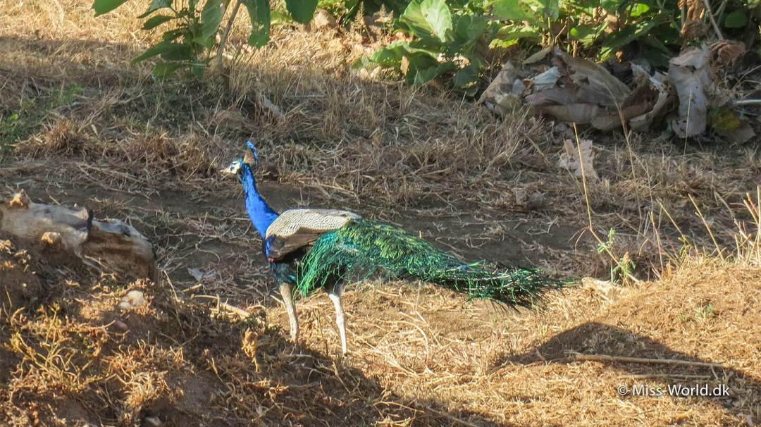 Colorful peacock Udawalawe National Park Sri Lanka