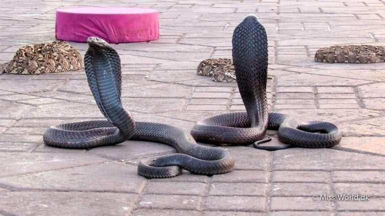 Kobraslanger på Djema al-Fna pladsen i Marrakech