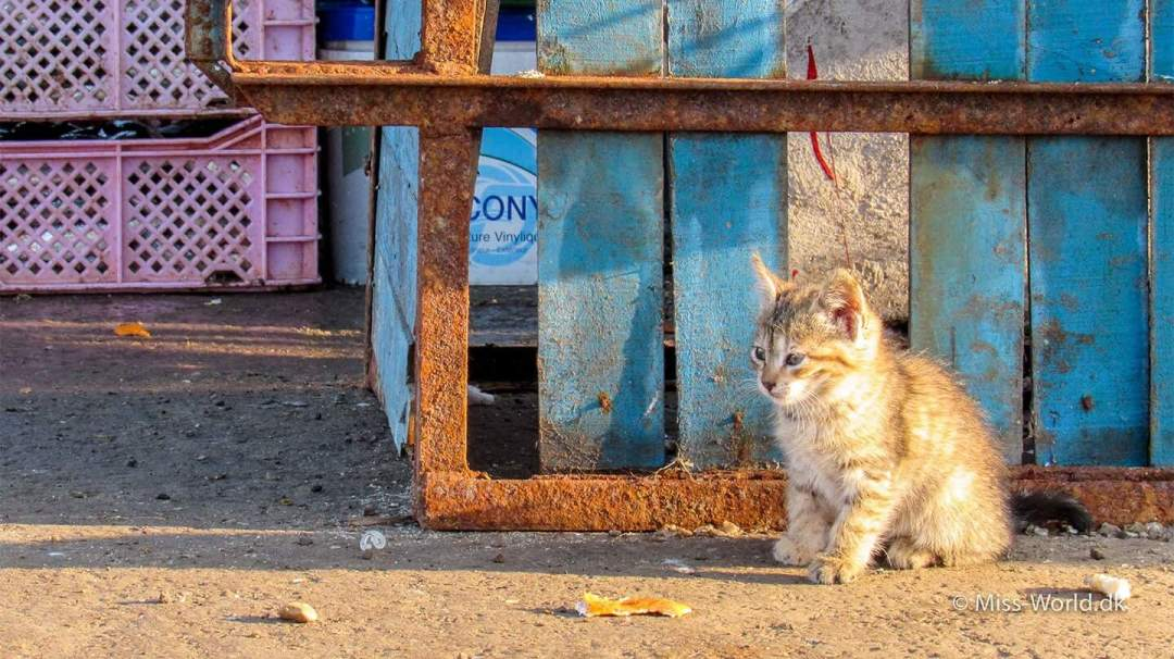 Small kitten in the harbour of Essaouira