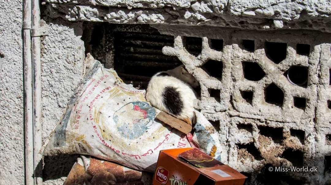 Cat in the Medina of Essaouira Morocco