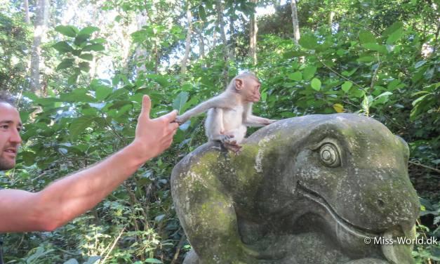 Kom tæt på aberne i abeskoven, Ubud Monkey Forest, på Bali