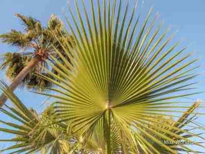 Palme Marokko