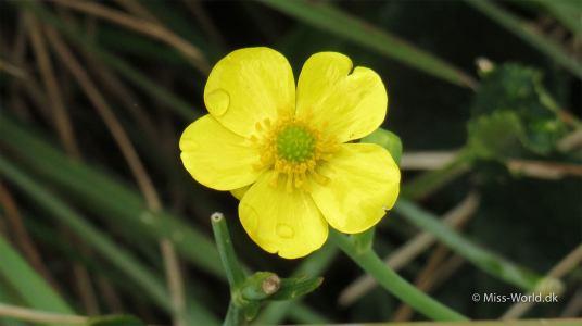 Horton Plains National Park Sri Lanka - Tiny yellow flower