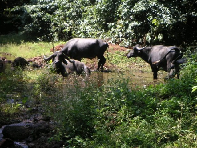Water buffalo in Maharashtra, India