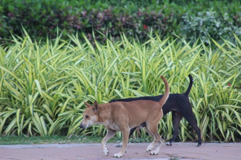 Sri Lankan street dogs on Galle Face Road in Colombo