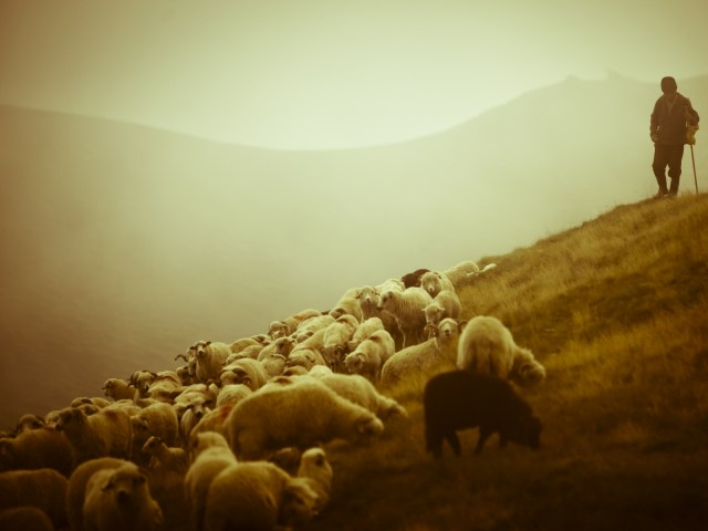 animals_photography_sheep_shielk_2560x1600_wallpaper_wallpaper_1600x1200_www-wallmay-com