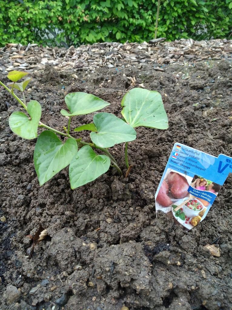 Süsskartoffel pflanze setzling pflanzen anbau