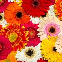 Langage des fleurs coup de foudre