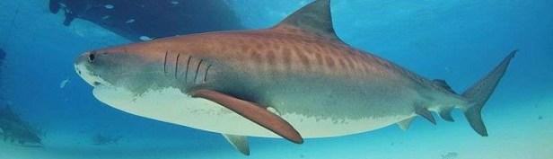 Les requins les plus dangereux du monde 2