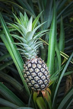 Ananas description