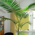 Conseil entretien palmier 1