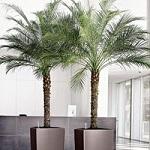 Conseil entretien palmier 4