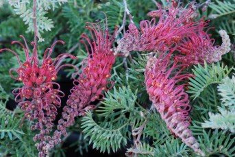 Grevillea-Pick-o-the-Crop-1