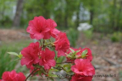 azalea rose