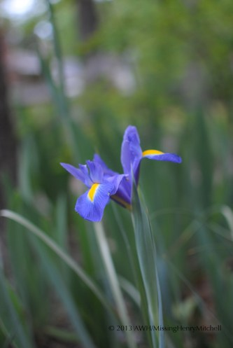 Dutch iris; the variety is around here somewhere