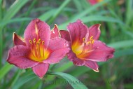 Hemerocallis 'Little Business' is a very short variety, growing about 12 inches tall.