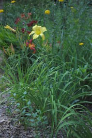 An unknown, tall clear yellow variety
