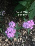 sweet william pale pink