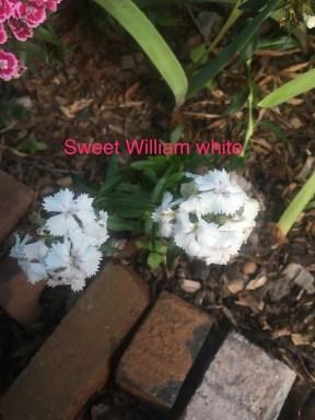 sweet william white